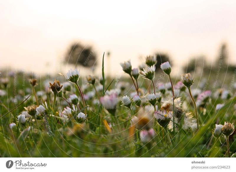 Good morning again Nature Plant Beautiful weather Flower Daisy Park Meadow Green Optimism Peaceful Hope Colour photo Exterior shot Copy Space top Twilight