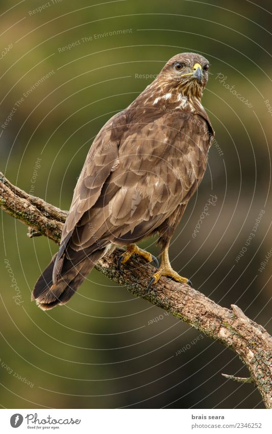 Common Buzzard Nature Beautiful Green Animal Forest Life Environment Natural Brown Bird Wild Wild animal Europe Feather Wing Ground