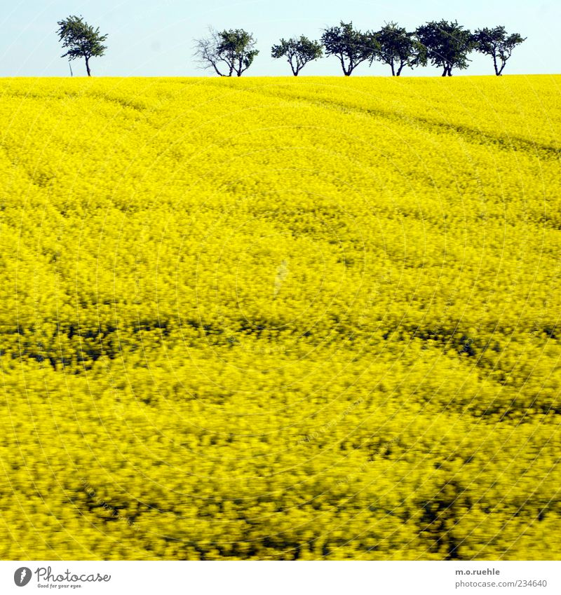 raped land Environment Nature Landscape Plant Sky Cloudless sky Horizon Spring Tree Agricultural crop Field Yellow Canola Canola field Oilseed rape cultivation