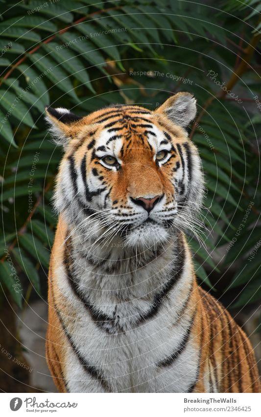 Close up portrait of tiger looking at camera Nature Animal Wild animal Animal face Zoo Tiger Big cat amur tiger siberian tiger Cat Mammal Carnivore