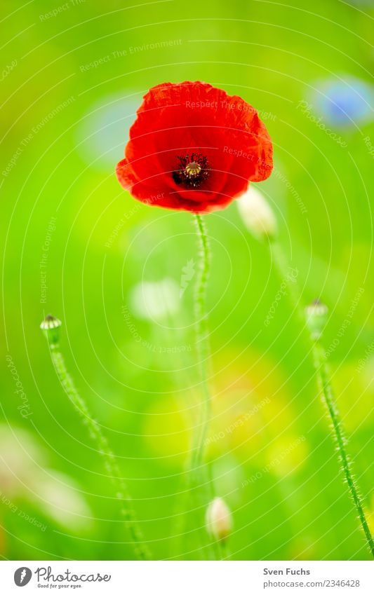 poppy blossom Happy Summer Nature Plant Spring Flower Blossom Wild plant Meadow Happiness Fresh Green Red Poppy Illuminate Open Closed bud youthful Pastel tone