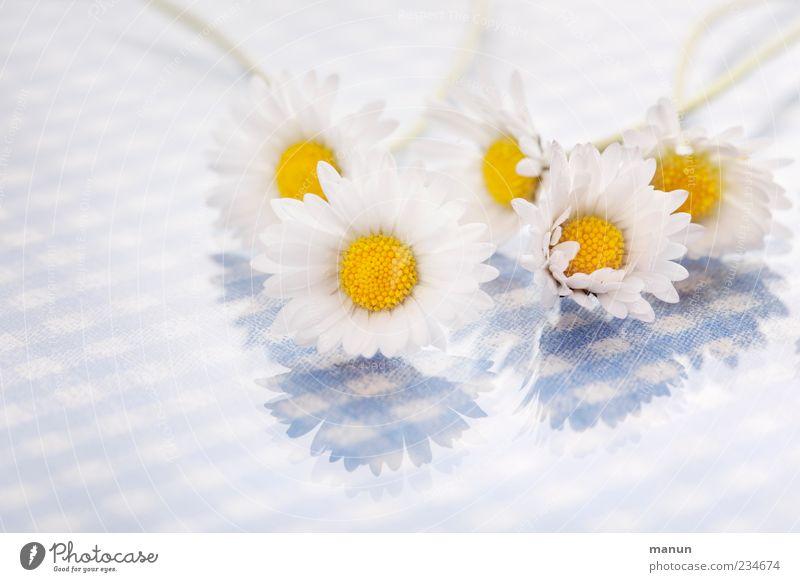 Nature Blue White Beautiful Flower Spring Blossom Bright Lie Multiple Daisy Spring fever