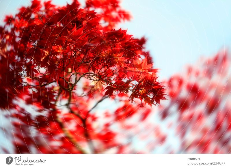 Nature Blue Beautiful Tree Red Leaf Spring Natural Maple tree Plant Twigs and branches Spring fever Emotions Maple branch