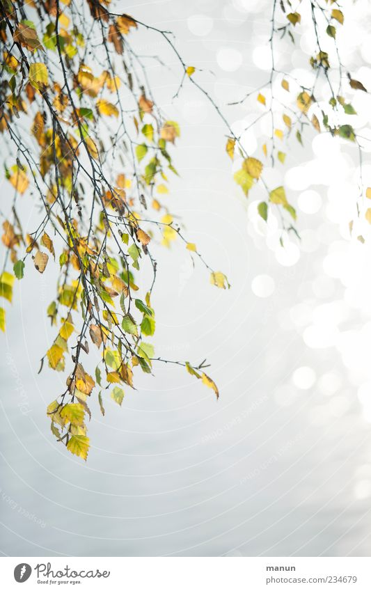 birch photo Nature Summer Autumn Tree Leaf Twigs and branches Birch leaves Birch tree Autumnal Early fall Autumnal colours Natural Beautiful Calm Colour photo
