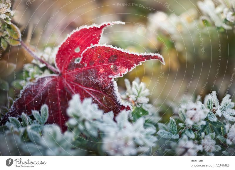 frost photo Nature Autumn Winter Ice Frost Plant Bushes Leaf Autumn leaves Autumnal Hoar frost Authentic Cold Natural Green Colour photo Exterior shot Close-up