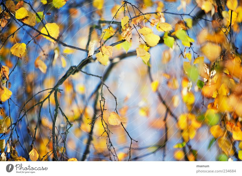 leaf photo Nature Autumn Tree Leaf Birch tree Birch leaves Twigs and branches Autumn leaves Autumnal Autumnal colours Early fall Blue Yellow Gold Seasons