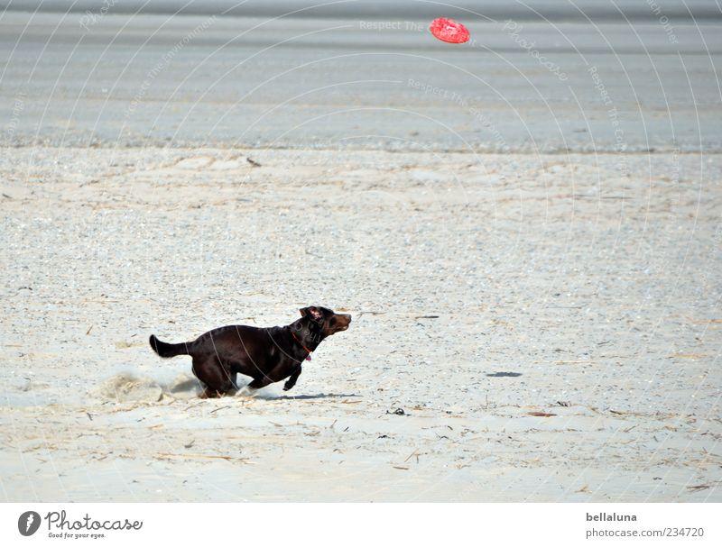 Spiekeroog | Extreme Sports :-D Pet Dog Playing Beach Ocean Frisbee Colour photo Subdued colour Exterior shot Day Retrieve Running Movement Sandy beach Elapse