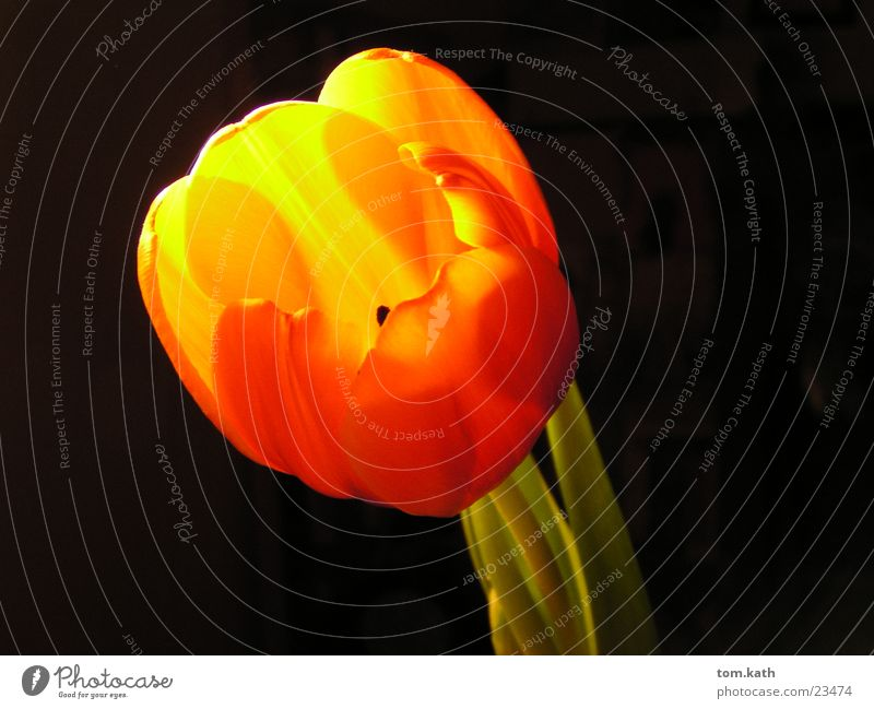 flower Tulip Flower Plant Blossom Light Lamp Blossoming Orange