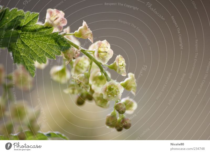 Nature Green Plant Leaf Gray Garden Blossom Pink Bushes Delicate Agricultural crop Macro (Extreme close-up) X-rayed Flowering plants Grape blossom