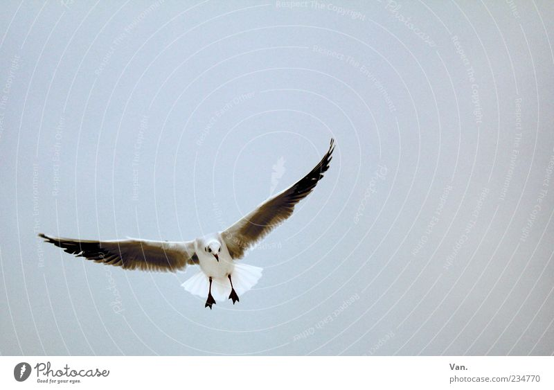 flying monsters Nature Animal Air Sky Wild animal Bird Wing 1 Flying Curiosity Gray Freedom Hover Flight of the birds Seagull Deserted Colour photo
