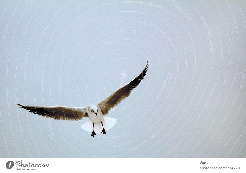 Sky Nature Animal Freedom Gray Air Bird Flying Wild animal Wing Curiosity Seagull Hover Flight of the birds