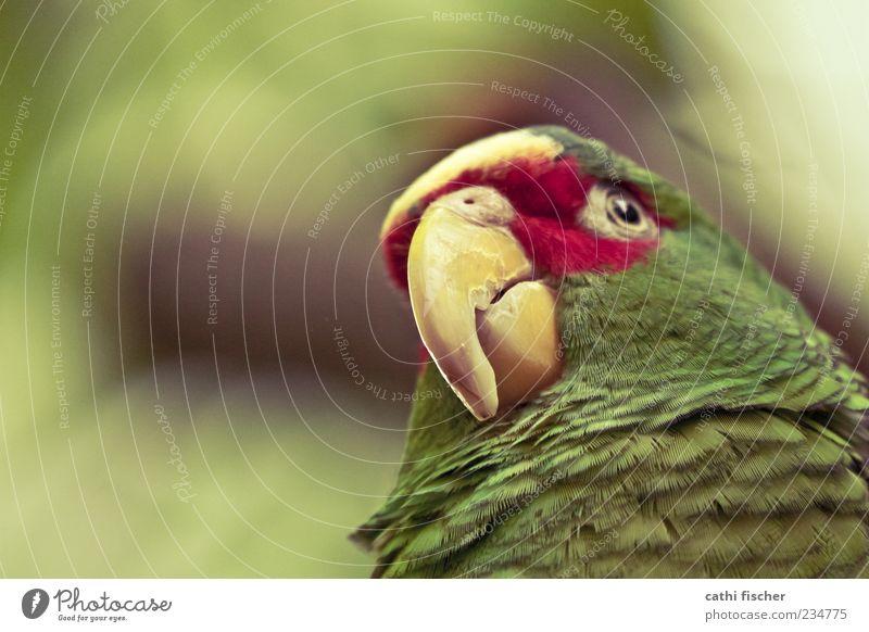 parrot Animal Wild animal Bird Animal face Zoo Parrots 1 Green Red Beak Eyes Feather Close-up Wild bird Exotic Worm's-eye view Green undertone Dye Esthetic