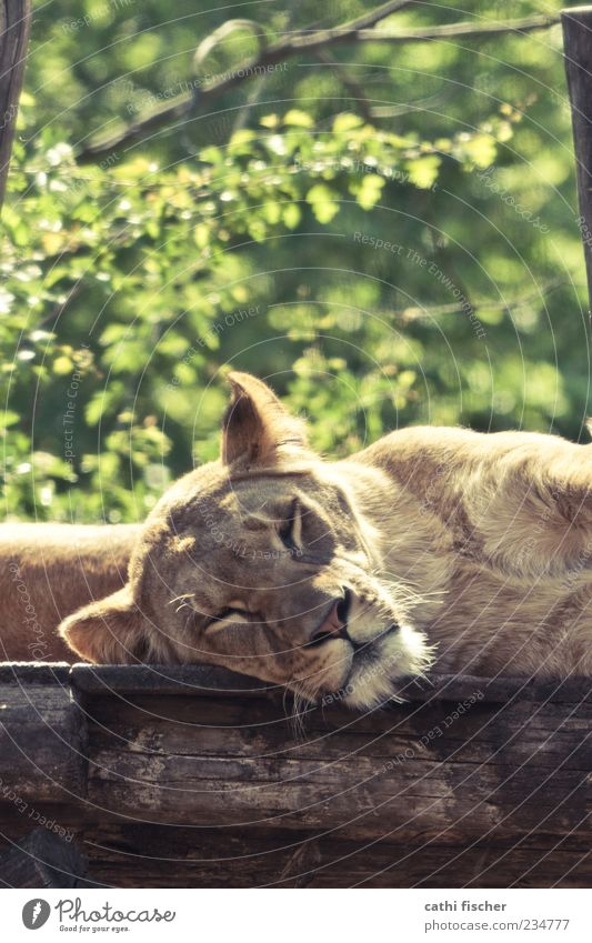 Cat Nature Green Tree Summer Animal Wood Head Dream Brown Wild animal Lie Sleep Pelt Animal face Beautiful weather