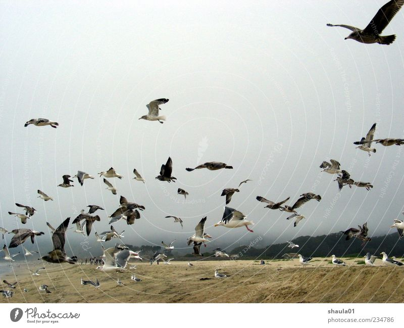 Sea Gulls Animal Sky Beach Bird Wing Seagull Group of animals Flock Movement Flying Gray Elegant Attachment Colour photo Exterior shot Deserted