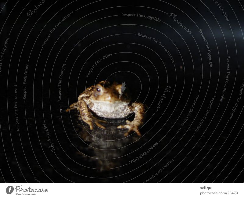 toad Toad migration Night Country road Animal Painted frog Street