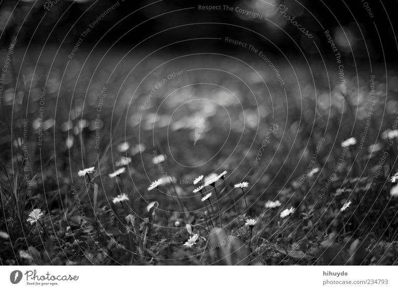 not yet another daisy photo Environment Nature Spring Flower Grass Blossom Free Fresh Bright Beautiful Spring fever Black & white photo Exterior shot