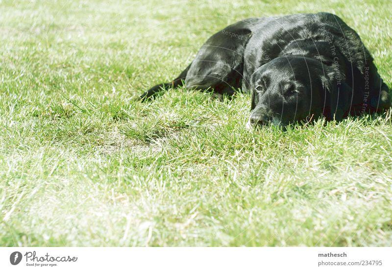 Lunch break. Nature Grass Animal Pet Dog Pelt 1 Lie Green Black Indifferent Comfortable Labrador Colour photo Exterior shot Copy Space left Copy Space bottom