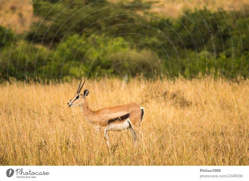 Thomson gazelles grazing Adventure Safari Man Adults Nature Landscape Animal Grass Park Wild White Africa Kenya Nairobi acacia african Antelope bush cold earth