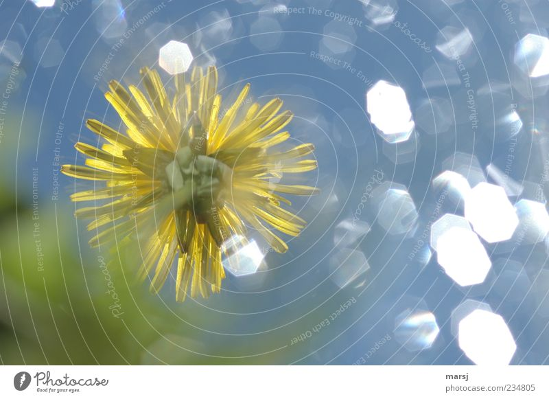Dreamy little flower 2 Nature Plant Sky Spring Summer Flower Blossom Wild plant Dandelion Meadow Blossoming Fragrance Illuminate Exceptional Elegant Happiness