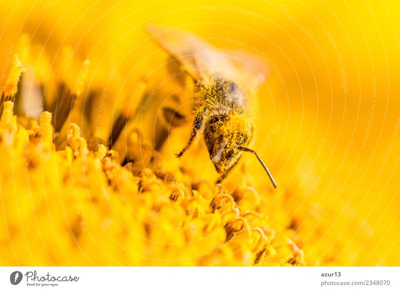 Macro honey bee collects yellow pollen on sunflower in nature Body Hair and hairstyles Summer Environment Nature Plant Animal Sun Spring Climate Climate change