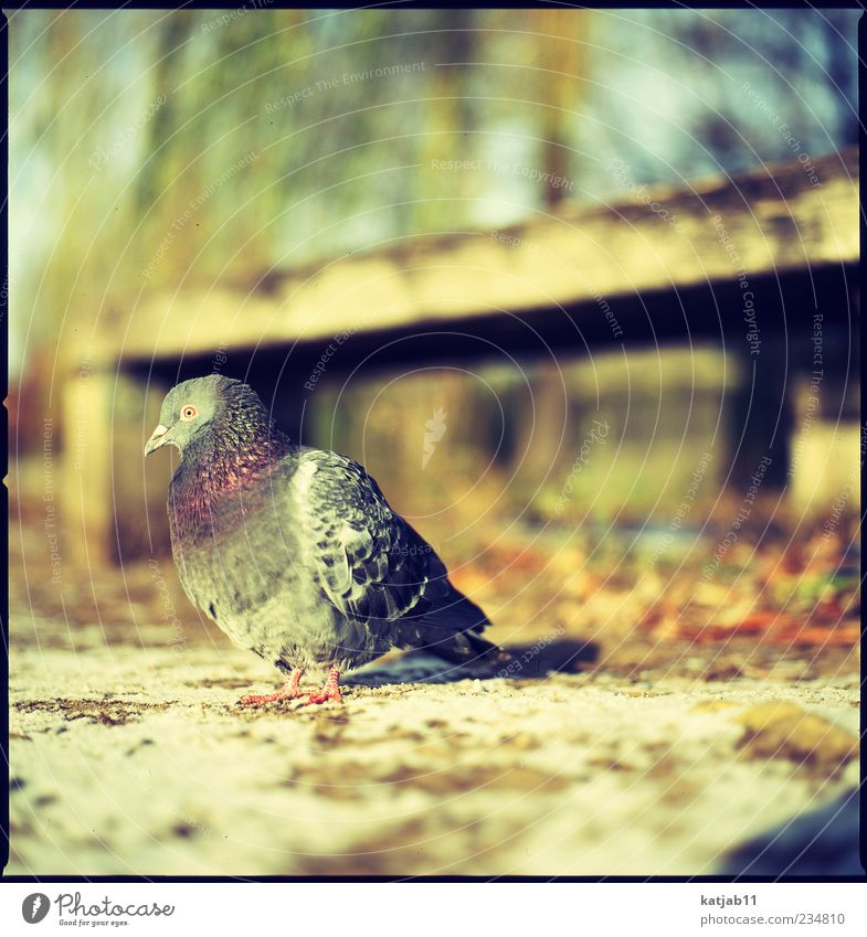 dove Nature Animal Earth Park Wild animal Pigeon 1 Medium format Analog Colour photo Exterior shot Day Sunlight Copy Space top Copy Space right Bird Sit Plumed