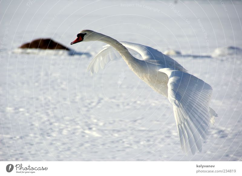 Swan in flight Elegant Beautiful Nature Animal Wild animal Bird 1 Observe Movement Flying Natural Cute White Loyalty Uniqueness Calm Independence Environment