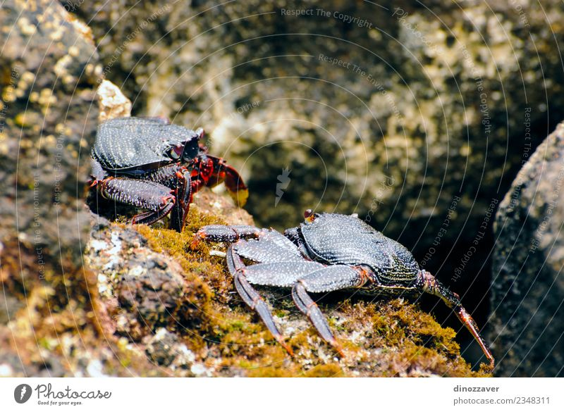 Wild crabs on the rocks Seafood Life Beach Ocean Environment Nature Animal Rock Coast Fresh Natural big claw Living thing crustacean Ecological eyes fauna fight