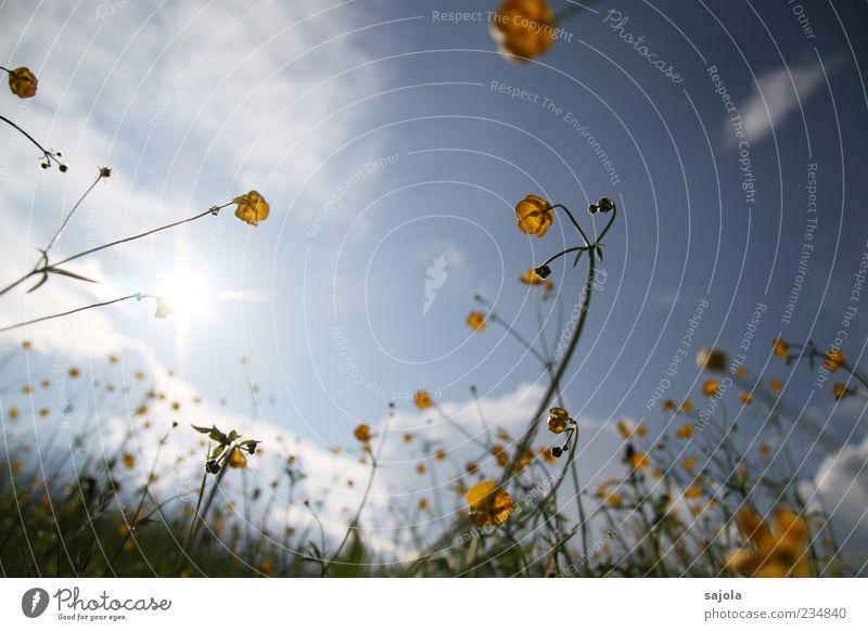 Sky Nature Plant Sun Flower Yellow Environment Meadow Grass Spring Illuminate Beautiful weather Meadow flower Crowfoot plants Crowfoot Grass blossom