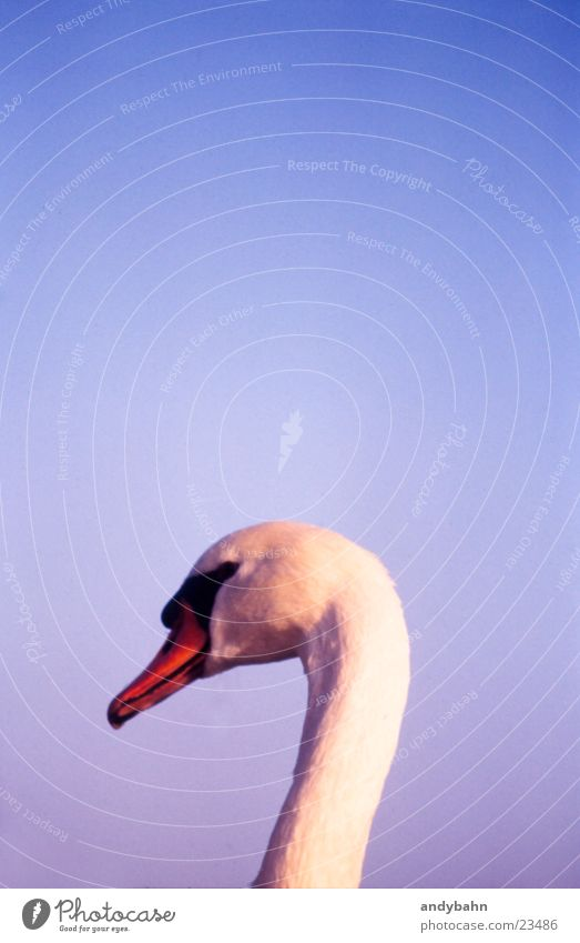 Sky White Neck Noble Beak Swan Graceful Sublime