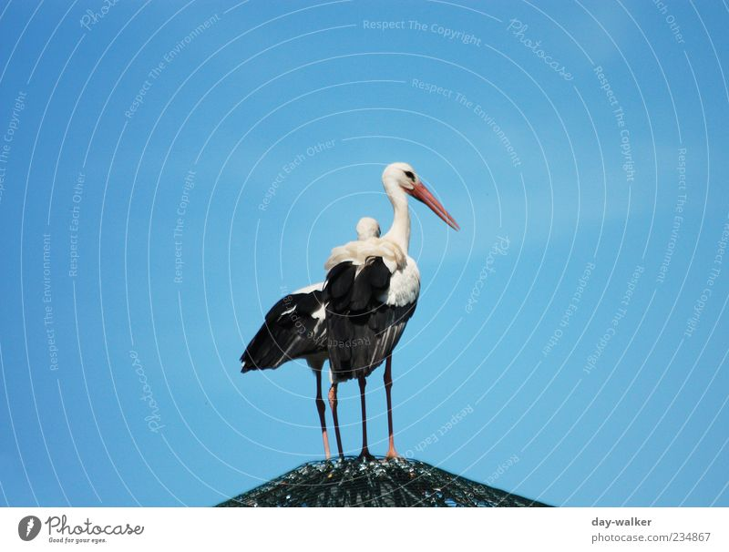 Moin colleague Nature Animal Cloudless sky Spring Wild animal Bird Zoo 2 Pair of animals Large Blue Black White Stork Roof Beak Feather Colour photo