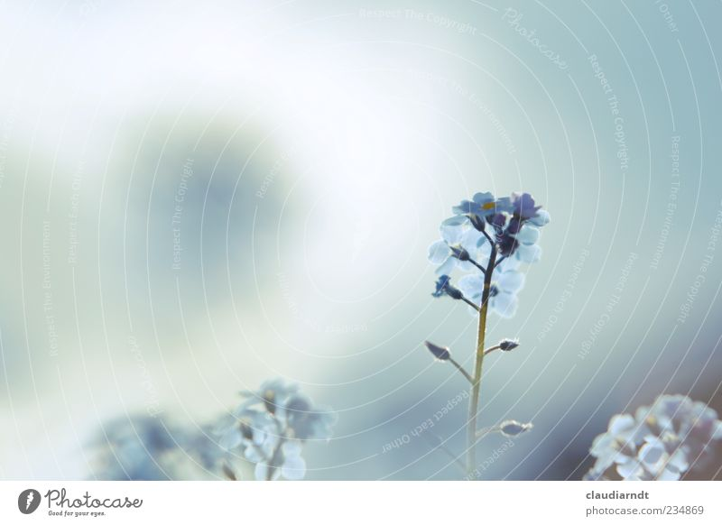 Sky Nature Blue Beautiful Plant Summer Flower Spring Blossom Delicate Pastel tone Forget-me-not