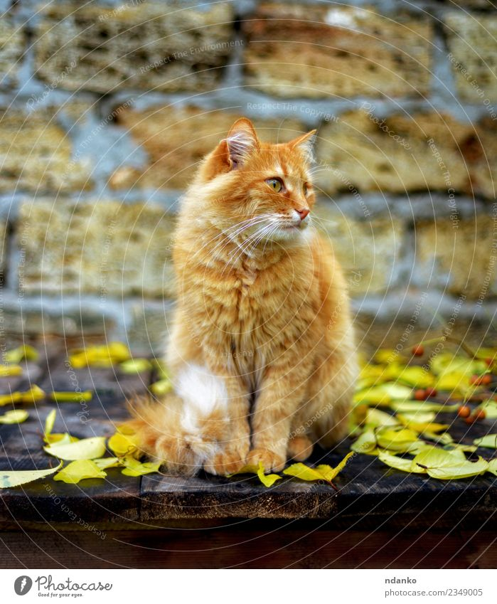 red cat sitting Cat Red Animal Yellow Cute Pet Delightful Domestic