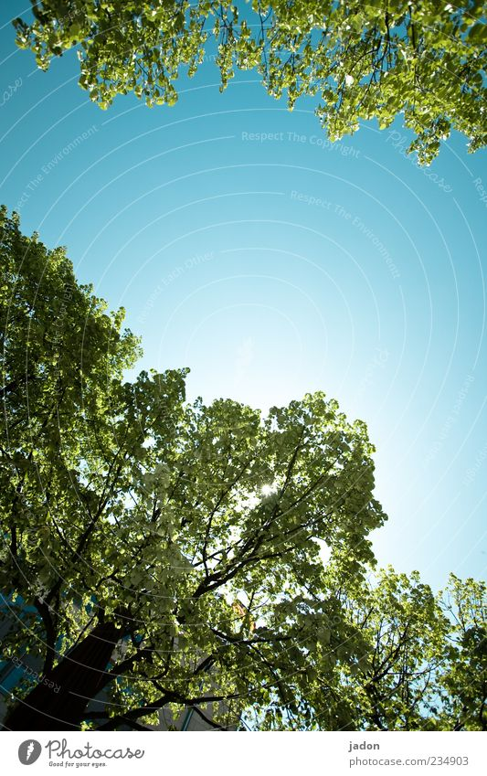 Skywards Plant Cloudless sky Spring Beautiful weather Tree Growth Tall Natural Blue Climate Environment Leaf canopy Exterior shot Copy Space middle Day