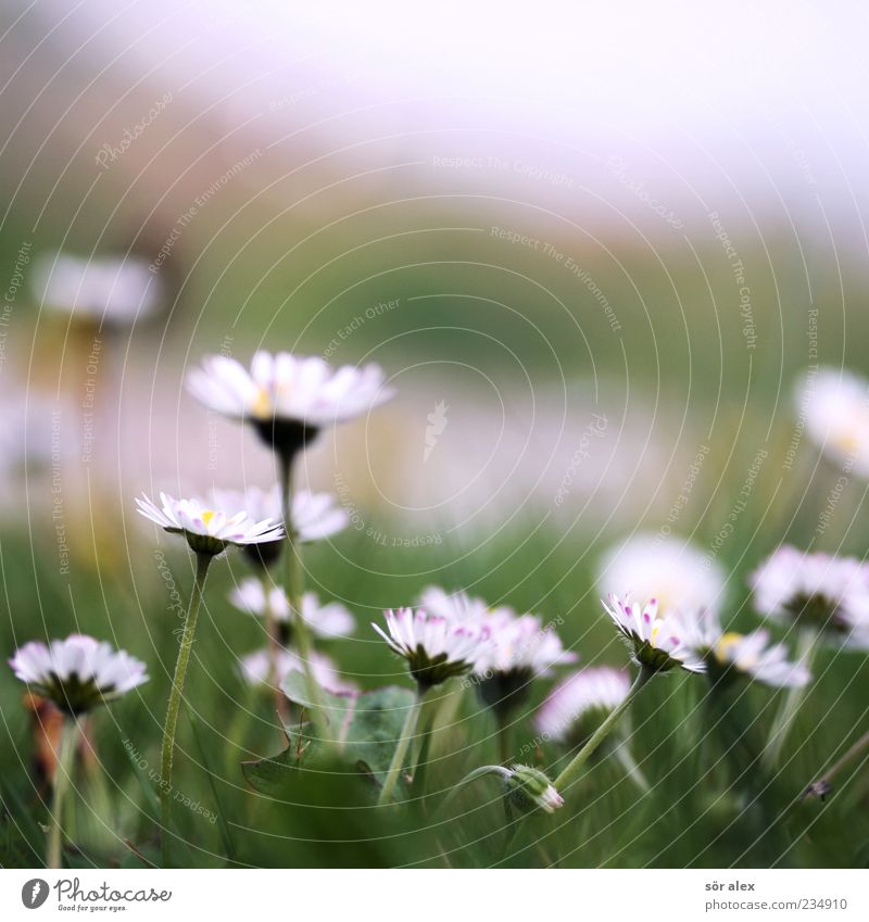 flower meadow Nature Plant Spring Weather Flower Grass Blossom Marguerite Meadow Blossoming Fragrance Beautiful Green White Spring fever Calm Contentment Serene