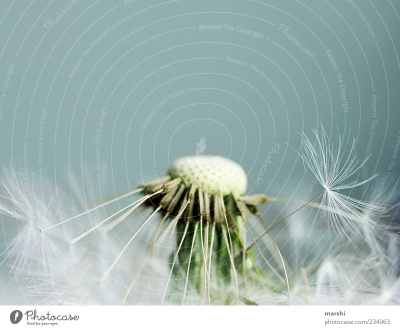 blow me naked Nature Plant Blue Brown Dandelion Seed Soft Background picture Neutral Background Copy Space top Blur Close-up Colour photo Detail