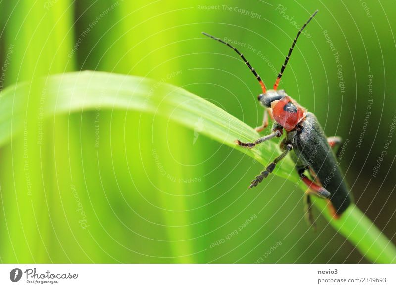 Tip beetle on a blade of grass Environment Nature Plant Animal Spring Summer Grass Foliage plant Garden Park Meadow Wild animal Beetle 1 Small Green