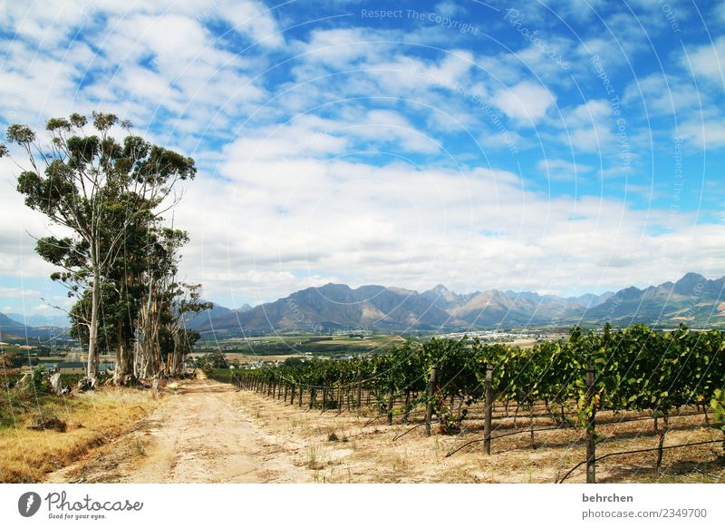 winelands Vacation & Travel Tourism Trip Adventure Far-off places Freedom Nature Landscape Sky Clouds Tree Agricultural crop Vine Vineyard Field Mountain