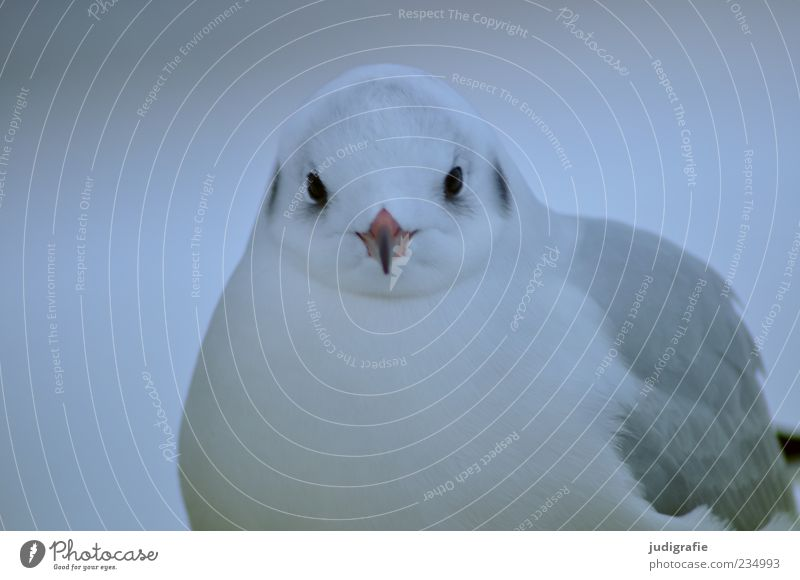 Nature White Animal Gray Bird Wild animal Natural Cute Feather Seagull Beak Black-headed gull
