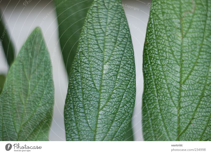 green-grey Nature Plant Leaf Glittering Gray Green Structures and shapes Colour photo Subdued colour Exterior shot Day Rachis Copy Space left Detail