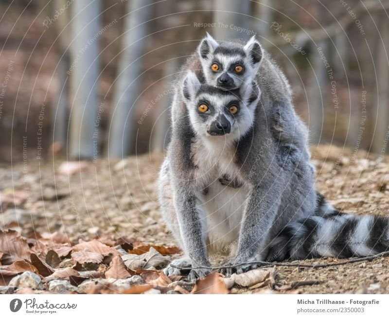 Katta and Baby Piggyback Nature Animal Sun Beautiful weather Plant Tree Leaf Forest Wild animal Animal face Pelt Paw Monkeys Ring-tailed Lemur Half-apes