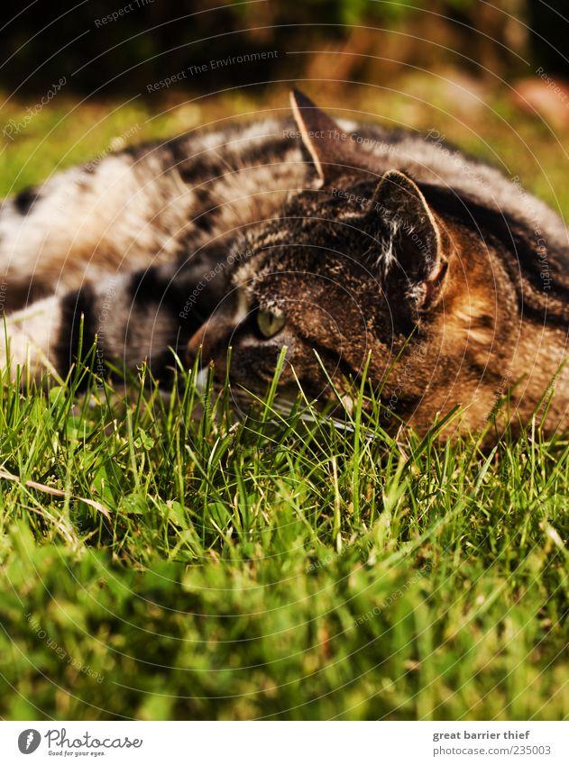 Cat Nature Green Summer Animal Meadow Grass Brown Lie Perspective Observe Pelt Watchfulness Pet Domestic cat Cat eyes
