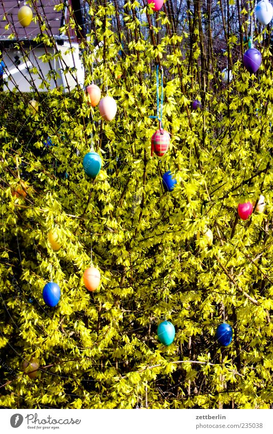 Nature Plant Emotions Garden Environment Small Bushes Easter Decoration Tradition Beautiful weather Easter egg Suspended Multicoloured Forsythia blossom