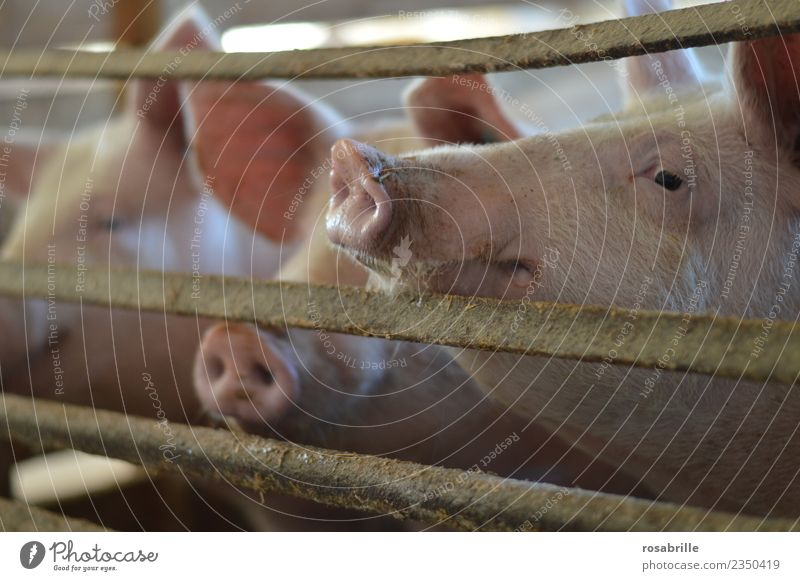 Pigs in the pigsty stretch their trunks through the grate Personal hygiene Vacation & Travel Farm Barn Grating Farmer Livestock breeding Agriculture Forestry