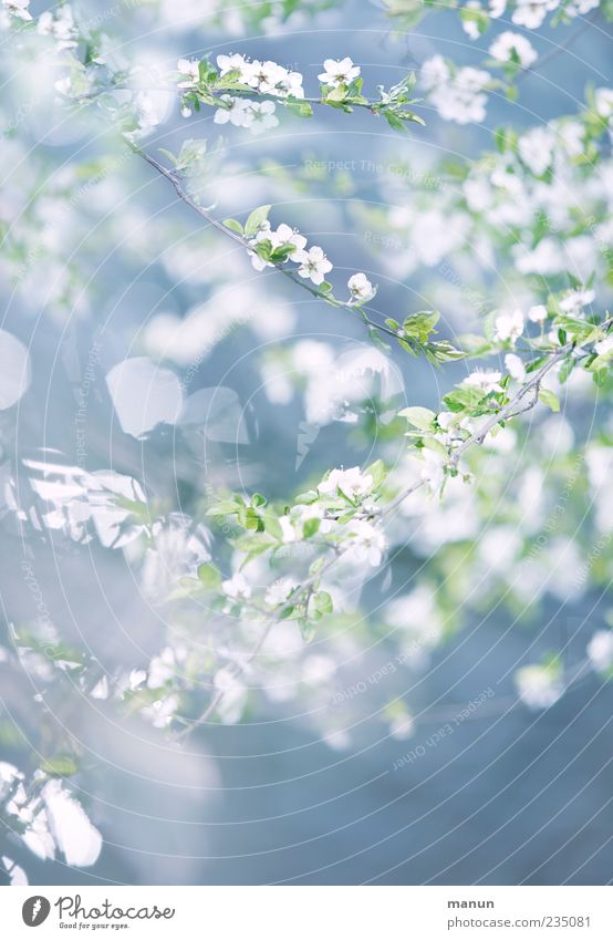 Nature White Tree Blue Plant Leaf Blossom Spring Bright Delicate Natural Sky blue Twigs and branches Spring fever Spring colours Light green