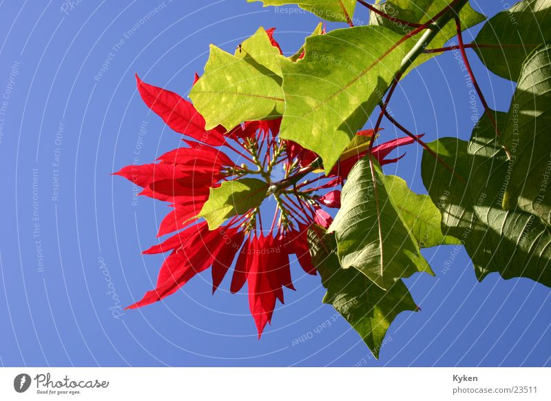 Christmas in heaven Plant Flower Blossom Growth Leaf Worm's-eye view Red Christmas star Sky