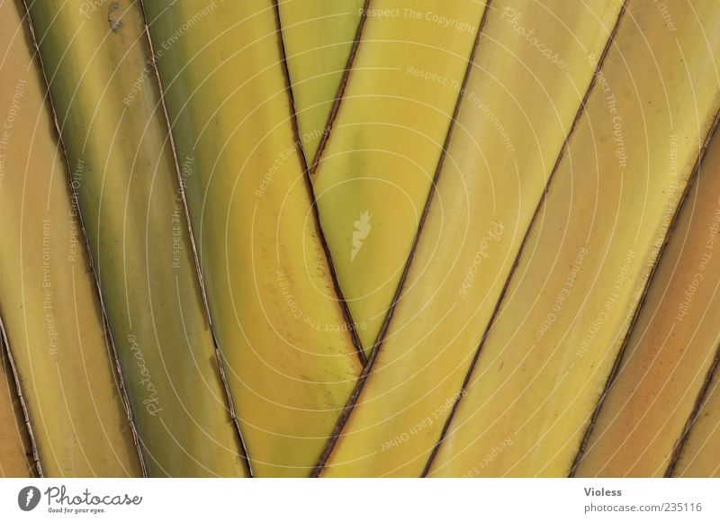 ... get one's knickers in a twist Nature Plant Palm tree Yellow Stripe Pattern Colour photo Exterior shot Detail Copy Space Deserted Close-up Background picture