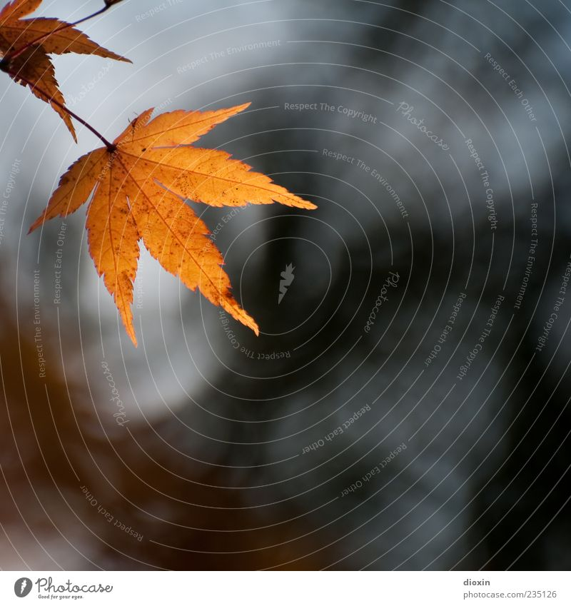fall leaves Nature Plant Autumn Leaf Old Hang Colour photo Exterior shot Deserted Copy Space right Copy Space bottom Back-light Shallow depth of field Autumnal