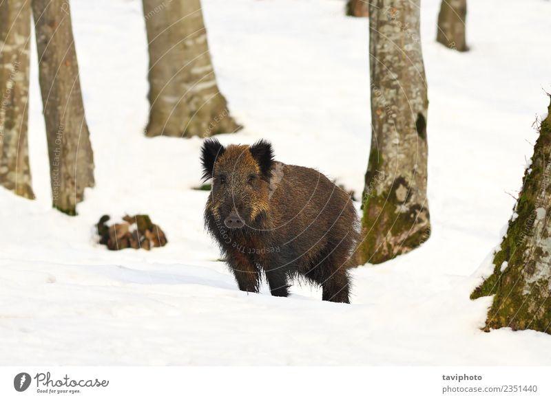wild hog in natural habitat Beautiful Playing Hunting Winter Snow Environment Nature Animal Forest Fur coat Dark Large Natural Wild Brown Dangerous Boar sus