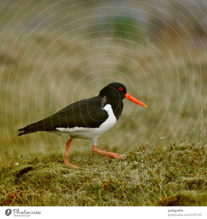 Nature White Beautiful Red Plant Animal Black Environment Life Meadow Bird Going Wild animal Free Iceland Moss