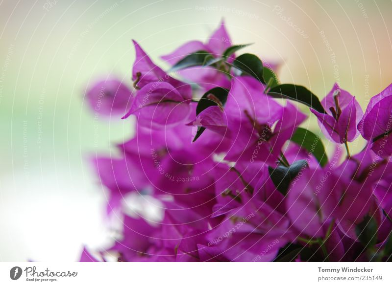 Nature Beautiful Plant Summer Flower Leaf Colour Life Spring Blossom Moody Pink Elegant Fresh Idyll Violet